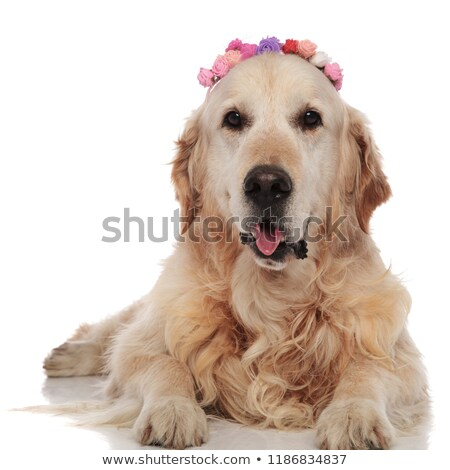 Golden retriever flores mentiras pantalones blanco Foto stock © feedough
