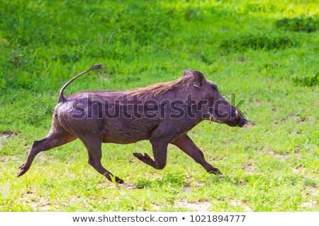 Csúnya disznó fut rajz illusztráció állat Stock fotó © cthoman