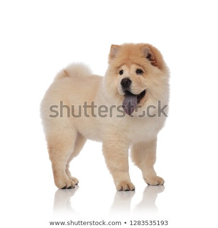 side view of excited chow chow looking to side Stock photo © feedough