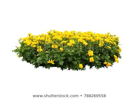 Bush żółte kwiaty ilustracja wiosną piękna sztuki Zdjęcia stock © bluering