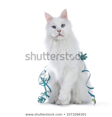 Stok fotoğraf: Sweet Solid Blue Eyed White Maine Coon Cat Boy Sitting With Garlands Isolated On White Background