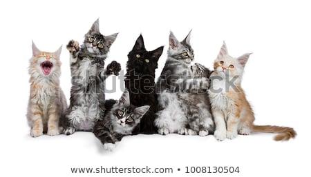 Cute zwarte witte Maine kat kitten Stockfoto © CatchyImages