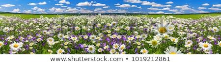 tájkép · zöld · mező · sárga · virágok · kék · ég · nagy - stock fotó © ajn
