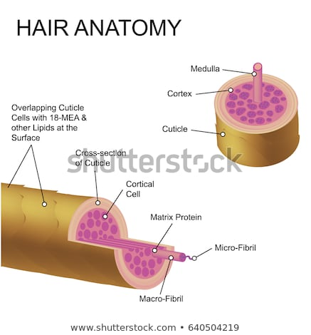 Anatomy of Hair Stock photo © vectomart