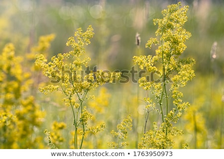Ladies Bedstraw Herb Stock photo © marilyna