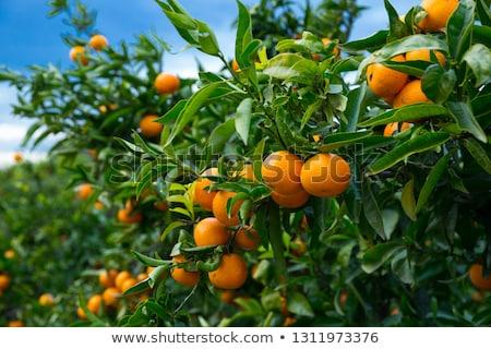 frescos · orgánico · mandarina · frutas · hojas - foto stock © anna_om