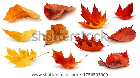 yellow maple oak leaves autumn fall isolated white stock photo © qingwa