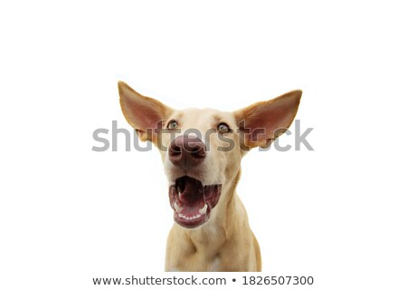 Large Dog Expression Stock photo © 2tun