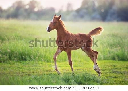 Foal in the field Stock photo © joyr