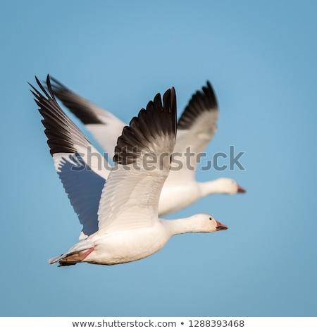 fehér · liba · repülés · égbolt · illusztráció - stock fotó © devon