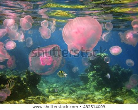 Meduza Vörös-tenger víz hal természet tájkép Stock fotó © stephankerkhofs