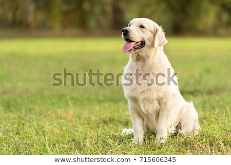 Golden retriever hond benen jong meisje eigenaar zwarte jurk Stockfoto © simply