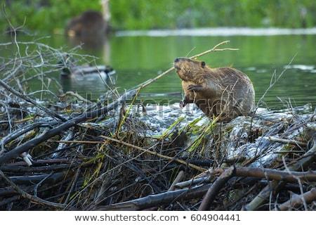 beaver Stock photo © perysty