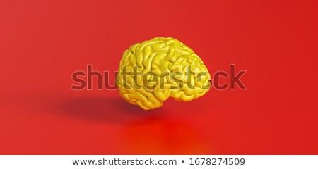 мозг модель медицинской здоровья пространстве науки Сток-фото © shutswis