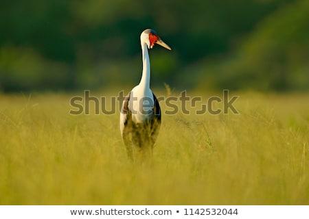 Wattled Crane Stock photo © macropixel