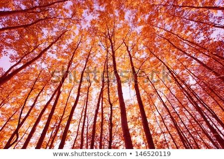 ősz fa alkonyat naplemente mező arany Stock fotó © nature78