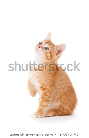 Сток-фото: Curious Orange Kitten With Large Paws Looking Up On A White Background