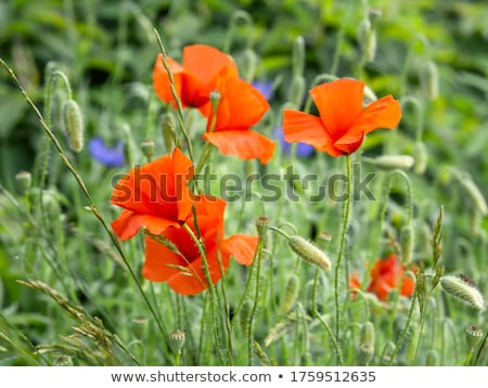 Red poppy (Papaver rhoeas) with out of focus field  Stock photo © mady70