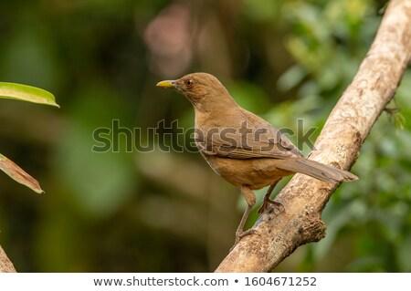 Photo stock: Argile · muguet · branche · Costa · Rica · noir