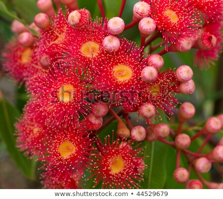 Fleurs rouges gomme arbre hybride Photo stock © sherjaca