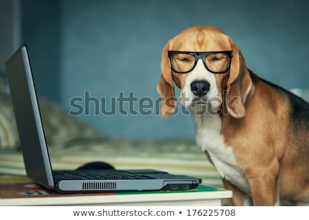Somnolent Beagle macro coup chiens nez Photo stock © ArenaCreative