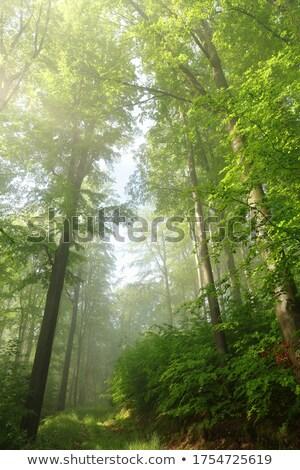 Photo stock: Chemin · chêne · forêt · printemps · nature · feuille