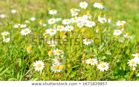 white daisies on the field Stock photo © mady70