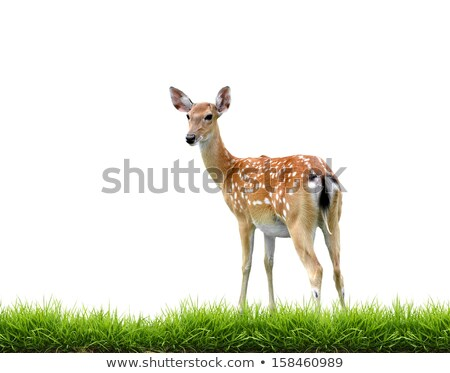 sikadeer with green grass isolated stock photo © anan