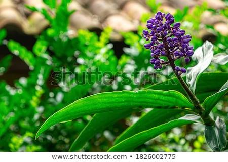 Viola organo fiori fiore foglia bellezza Foto d'archivio © LIstvan
