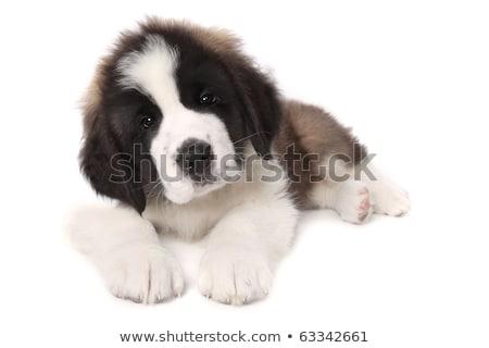 Stock fotó: Adorable Saint Bernard Puppy Lying Down On White Background