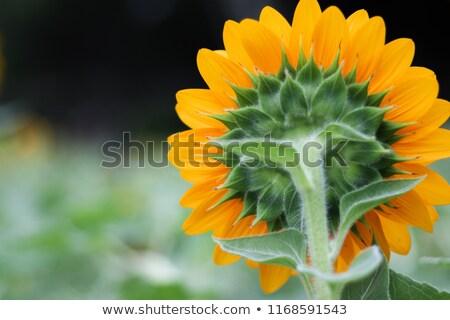 belo · agave · planta · luz · solar · harmônico · padrão - foto stock © photocreo