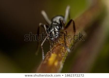 Fekete hangyák gyűjt virágpor magvak bent Stock fotó © AlessandroZocc