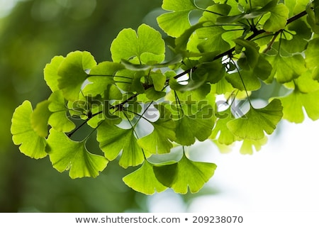 ginkgo biloba stock photo © dzejmsdin