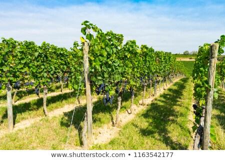 ブドウ ブドウ 緑 つる 葉 ワイン ストックフォト © aspenrock