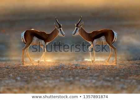 springbok at sunrise stock photo © ecopic