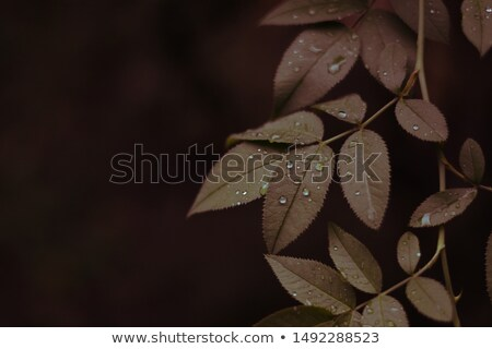 Raindrops on a brown leaf Stock photo © Ximinez