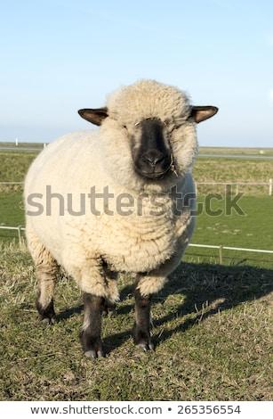 羊 · いくつかの · 雲 · 草 · 雲 · 青空 - ストックフォト © compuinfoto