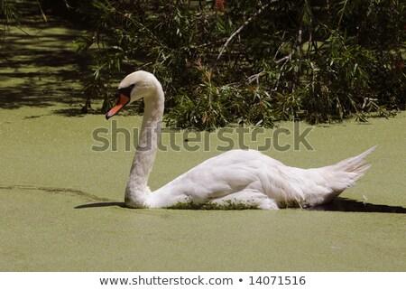 Stock photo: Green water algae at bird sanctuary lake