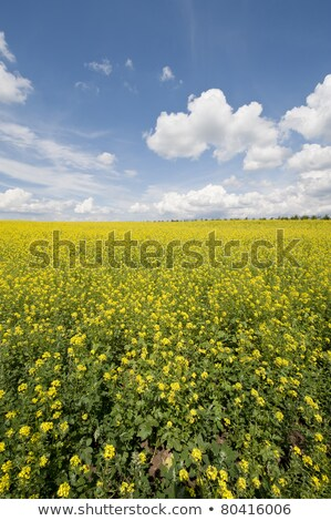 Beautiful panorama of golden rapefield and blue sky. Stock photo © lypnyk2