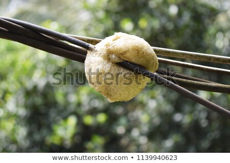 Foam nest frog Stock photo © EcoPic