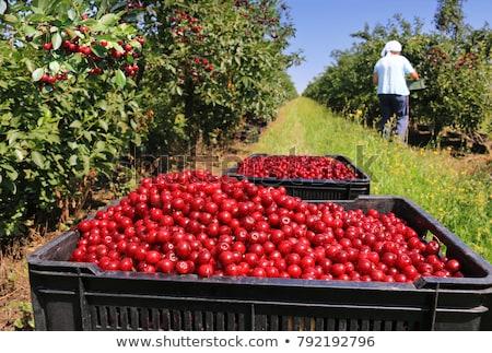Harvested Cherries stock photo © funix