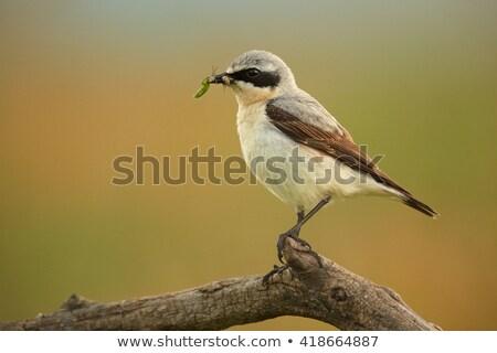 Maschio bruchi becco seduta polo sole Foto d'archivio © Arrxxx