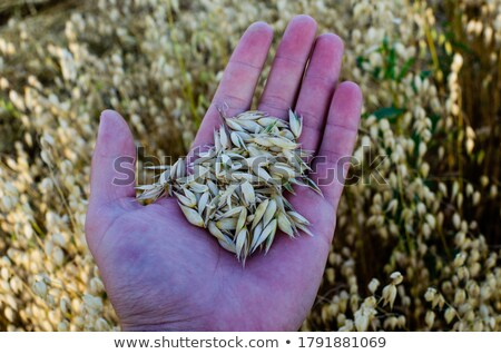 farmer examining oat crops in field close up of hand stock photo © stevanovicigor