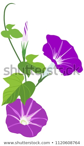 Morning Glory Bloosom In The Summer Stock photo © brm1949