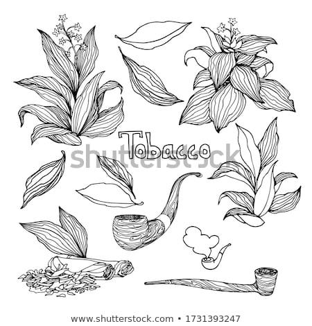 коллекция курение Трубы табак изолированный белый Сток-фото © Taigi