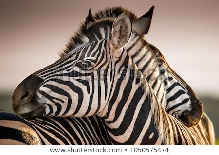 zebra · naplemente · Afrika · park · Kenya · piros - stock fotó © adrenalina