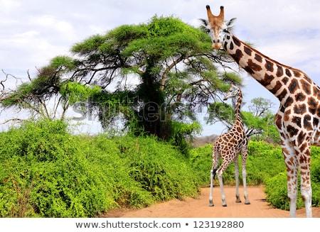 eszik · zsiráf · park · Dél-Afrika · égbolt · Afrika - stock fotó © simoneeman