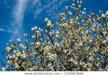 Badem ağaç çiçek bahar mutlu Stok fotoğraf © inaquim