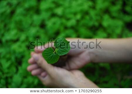 Sapling in field Stock photo © IS2