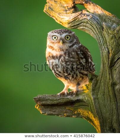Küçük baykuşlar gün batımı çift kuş hayvan Stok fotoğraf © suerob